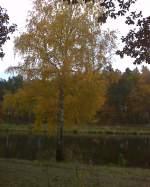 Ruppiner Land/170619/goldene-birke-am-oder-havel-kanal-bei-friedrichsthaloranienburgokt2011 Goldene Birke am Oder-Havel-Kanal bei Friedrichsthal(Oranienburg)Okt.2011