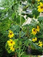 Blatter und Bluten/173870/sonnenblume-in-voller-pracht---beliebter Sonnenblume in voller Pracht - beliebter Aufenthalt für die Meisen (Sommer 2011)