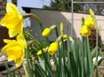 Narzissen/13890/narzissen-in-unserem-garten Narzissen in unserem Garten